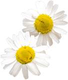 Ajona - Wirkstoffe der Kamille
