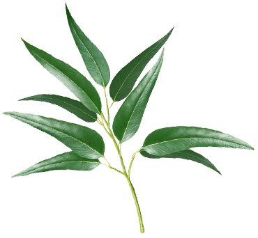Ajona - Eucalyptol